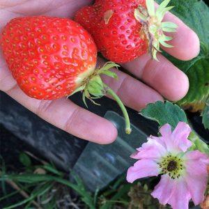 jordgubbssorter i sverige
